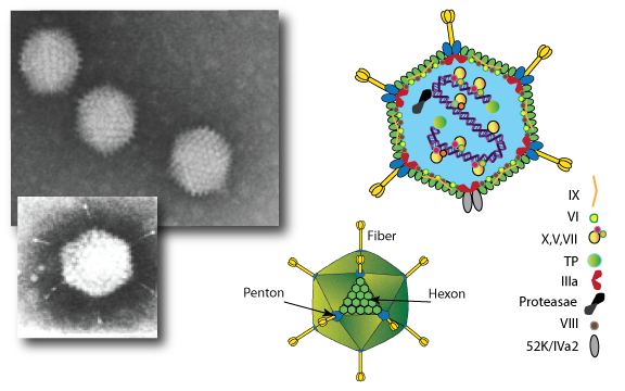 Adenovirus_TanTecBiosystems