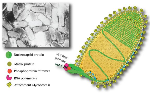 vesicular stomatitis virus tantec Biosystems