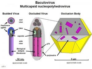 Bacculovirus